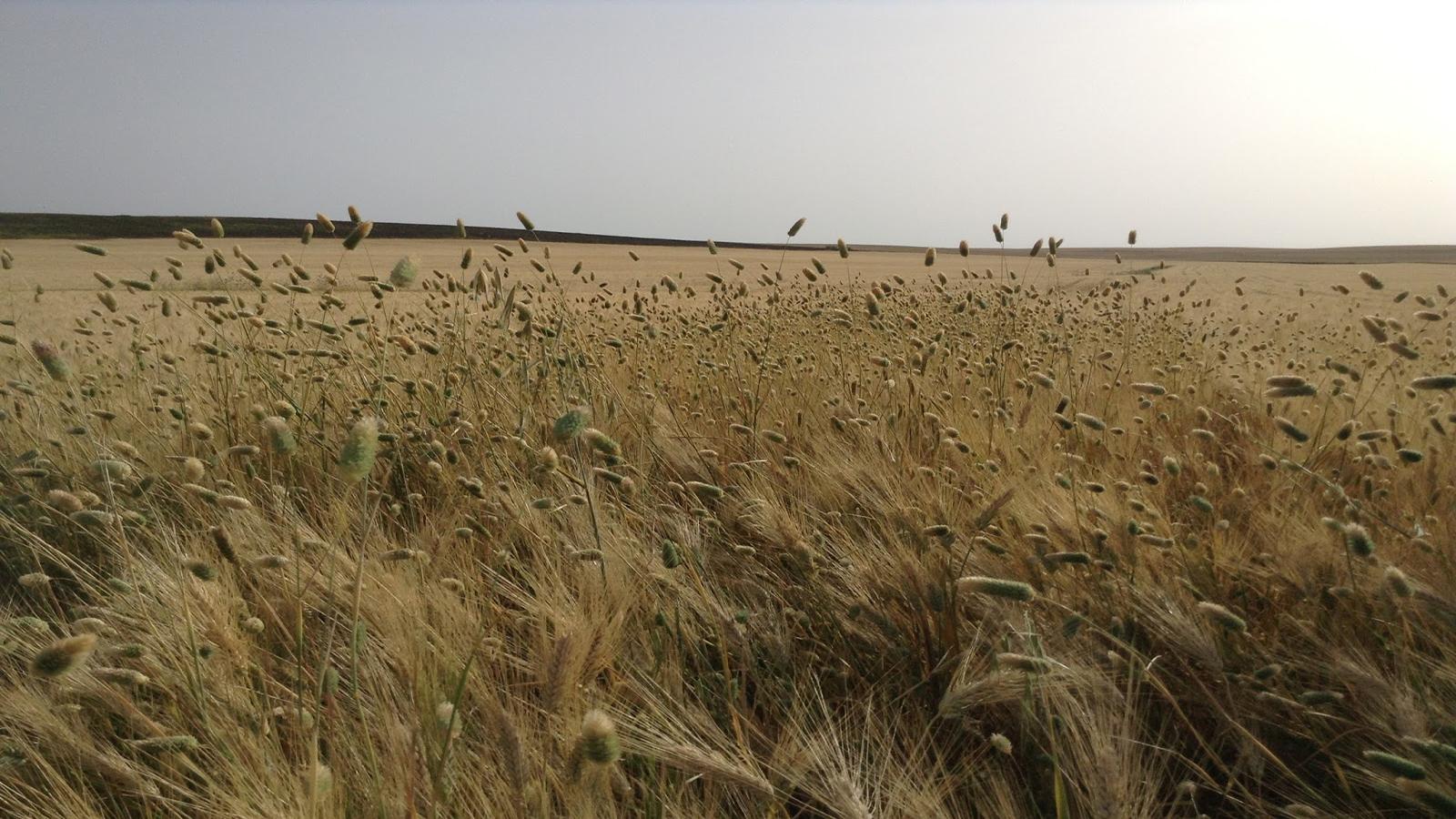 Phalaris sp. en Trigo