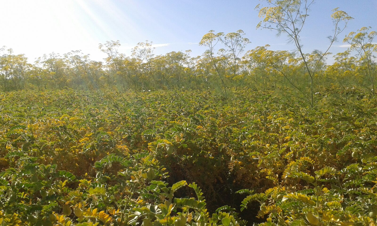 Ridolfia segetum infestando cultivo de garbanzo