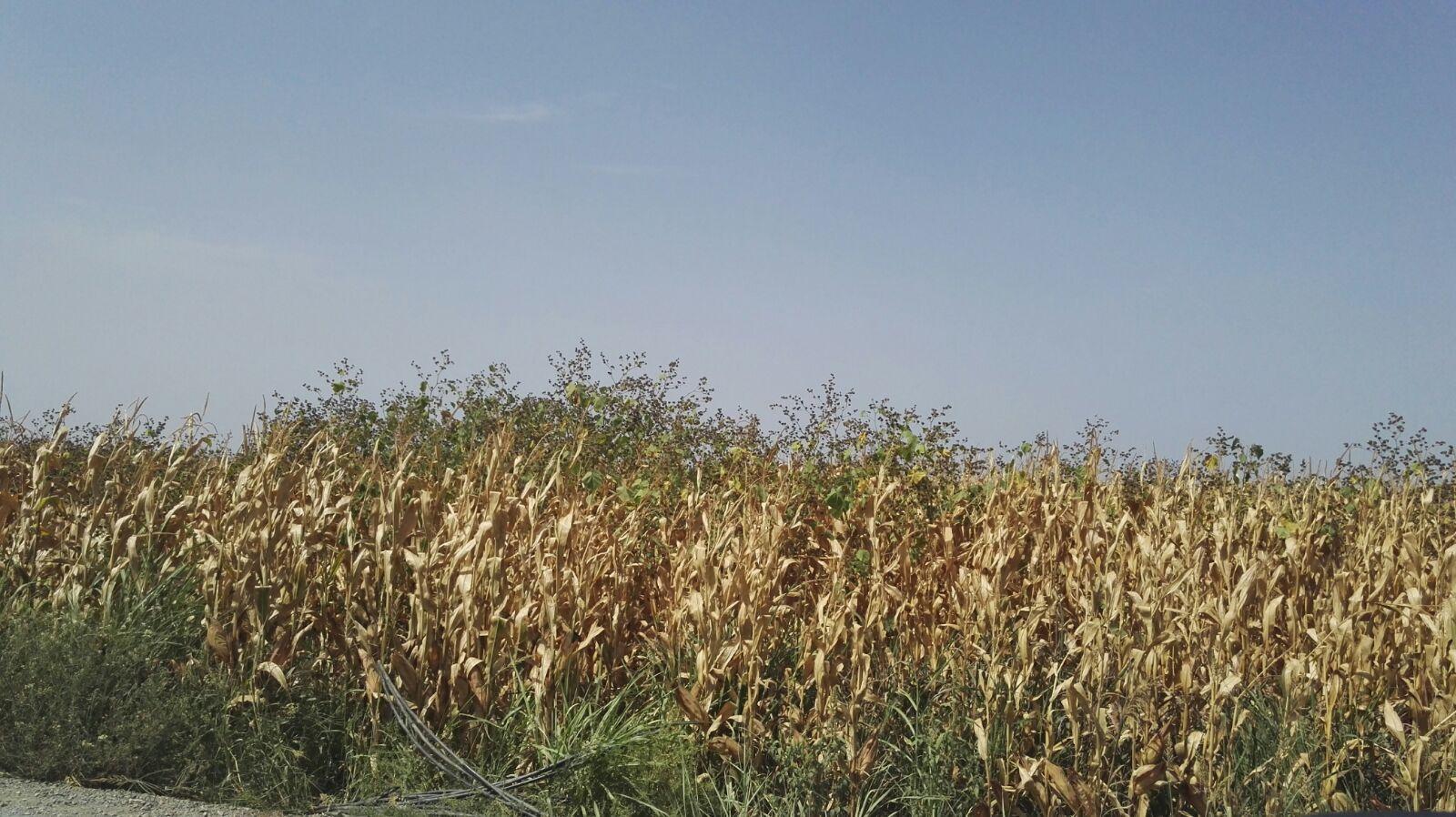 Abutilon en maiz