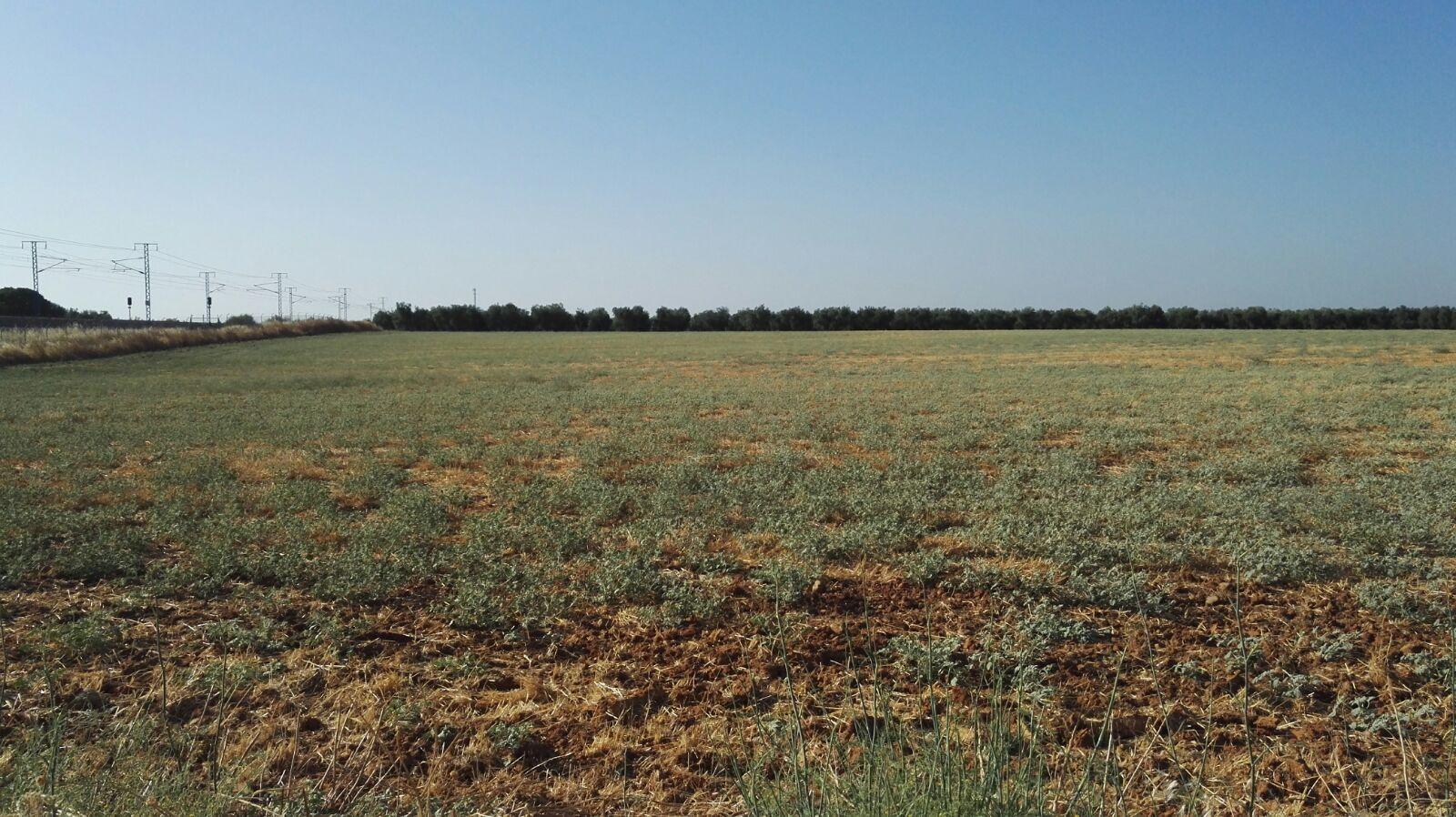 Chrozophora sobre rastrojo de trigo