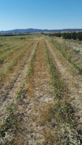 Cyperus en algodón (glifosato)