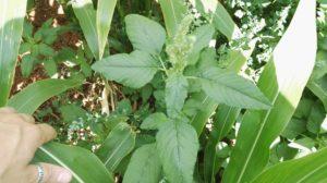 Amaranthus retroflexus en maiz