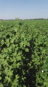 Abutilon demostrando su capacidad competitiva en algodón