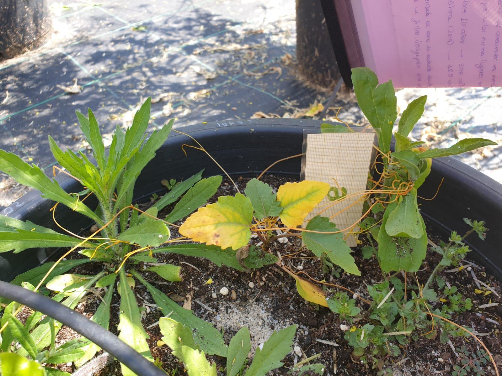 Cuscuta parasitando Conyza bonariensis, C. canadensis y Xanthium strumarium